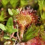 La drosera, une plante carnivore alpine !